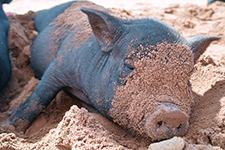 The Pot-Bellied Pig