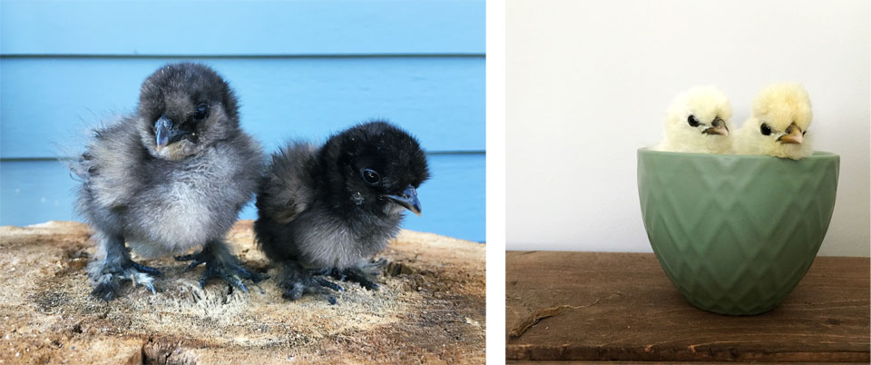 Morgan Chicks Silkie Chickens