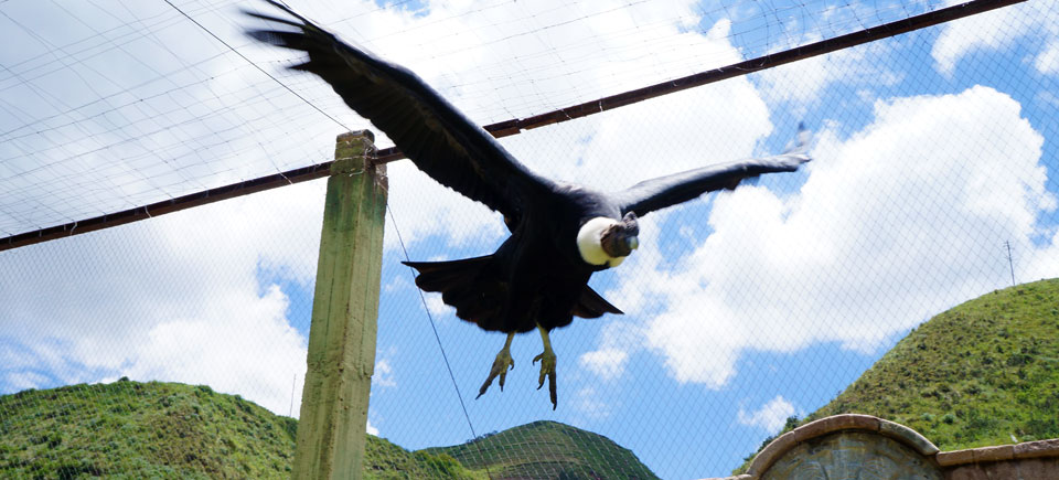 Ccochahuasi Animal Sanctuary condor