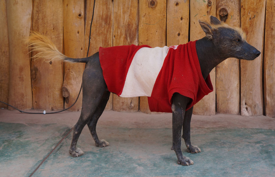 Ccochahuasi Animal Sanctuary Peruvian Hairless Dog