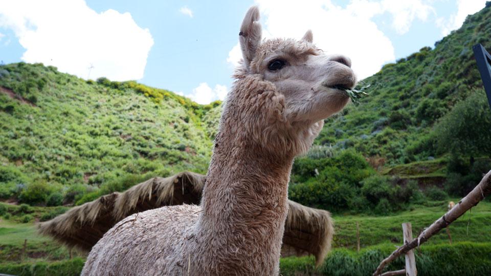 Awana Kancha Llama Farm