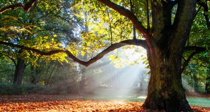 A large oak tree with sunlight filtering through the leaf canopy