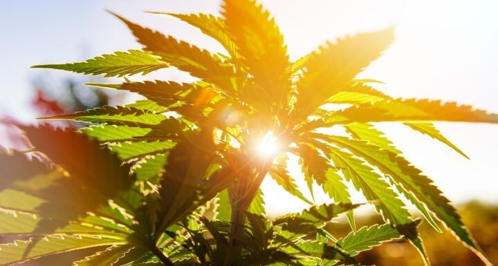 Sun shining through hemp leaves