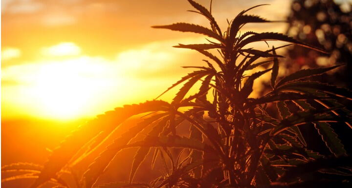 Hemp plant silhouette with sunset in background