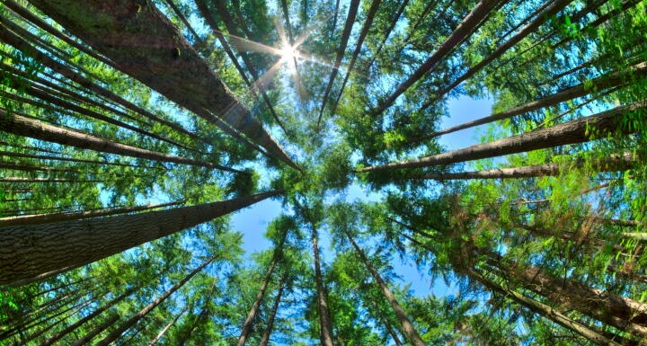 upward view of dense pine forest with blue sky