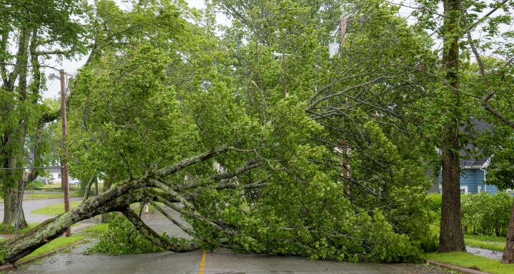 Mature tree down across a road, blocking traffic