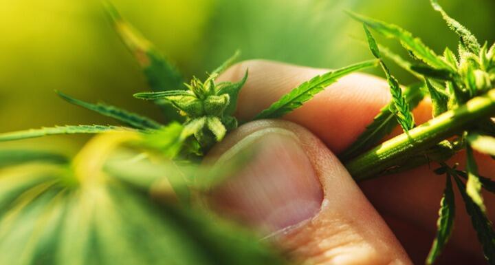 farmer exams hemp plant leaf
