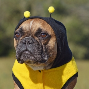 Dog in bee costume