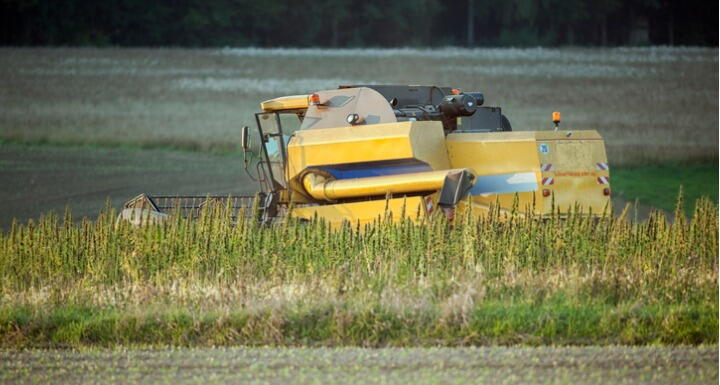 Farm machine harvesting hemp plants