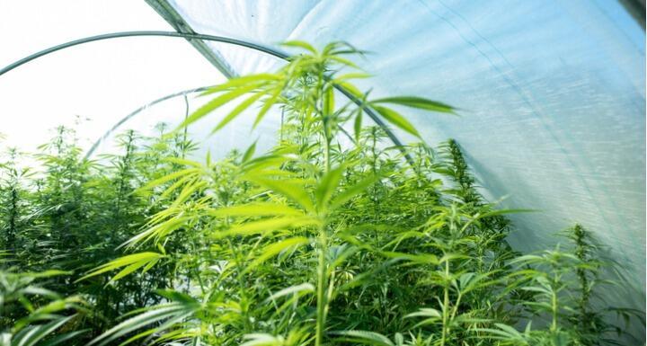 Hemp plants growing in a greenhouse