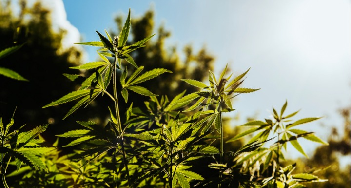 Close up of hemp plant in sunny field
