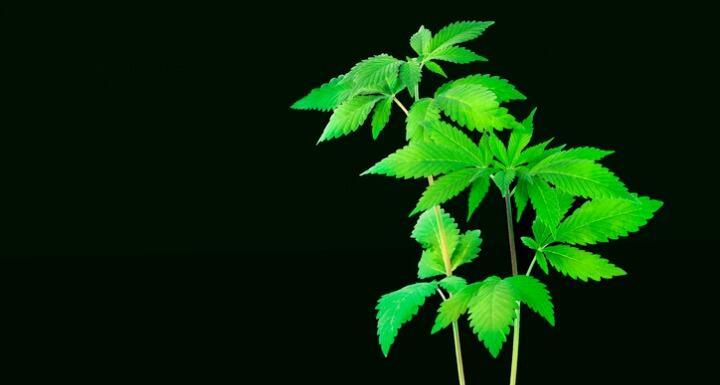 Hemp plant sprout against black backdrop