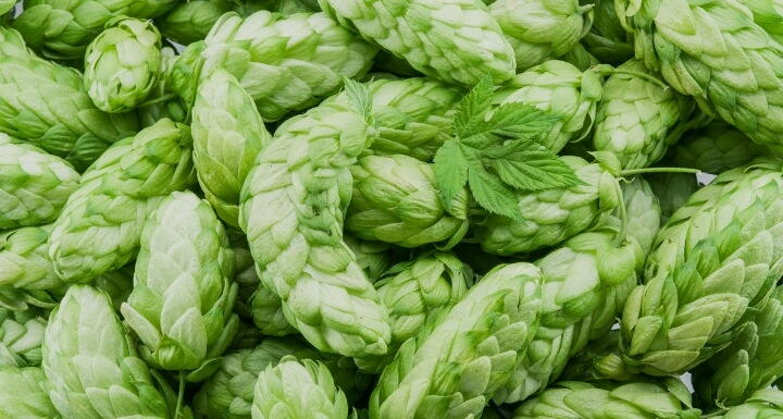 Green hemp plant pods related to brewing beer