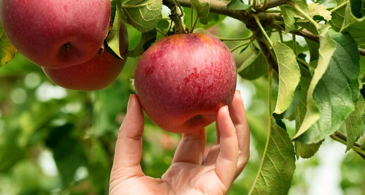 Hand picking apple from tree