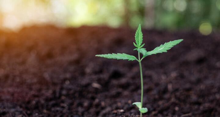A small cannabis plant breaking through soil
