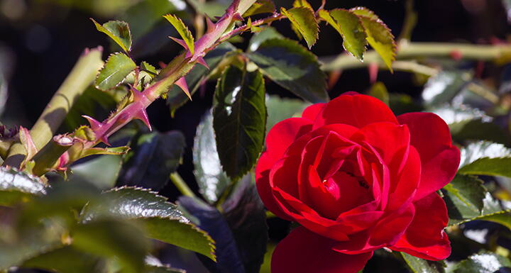 A red rose on a stem with leaves and thorns