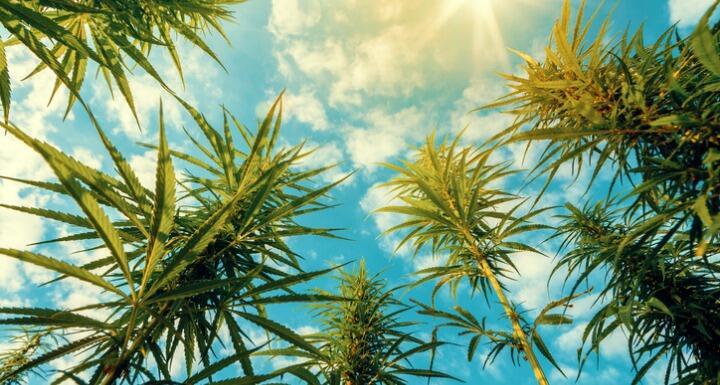 shot of hemp plants with blue skies
