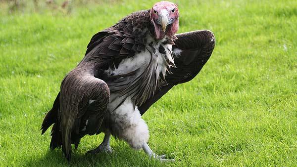 Link Vulture