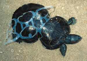 turtle, plastic rings, plastic, pollution, ocean pollution, planet aid