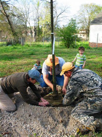 maple tree planting