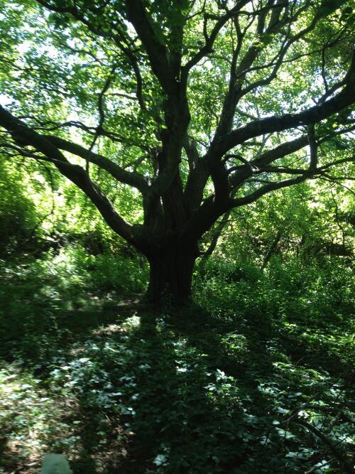 Fulling Mill Tree