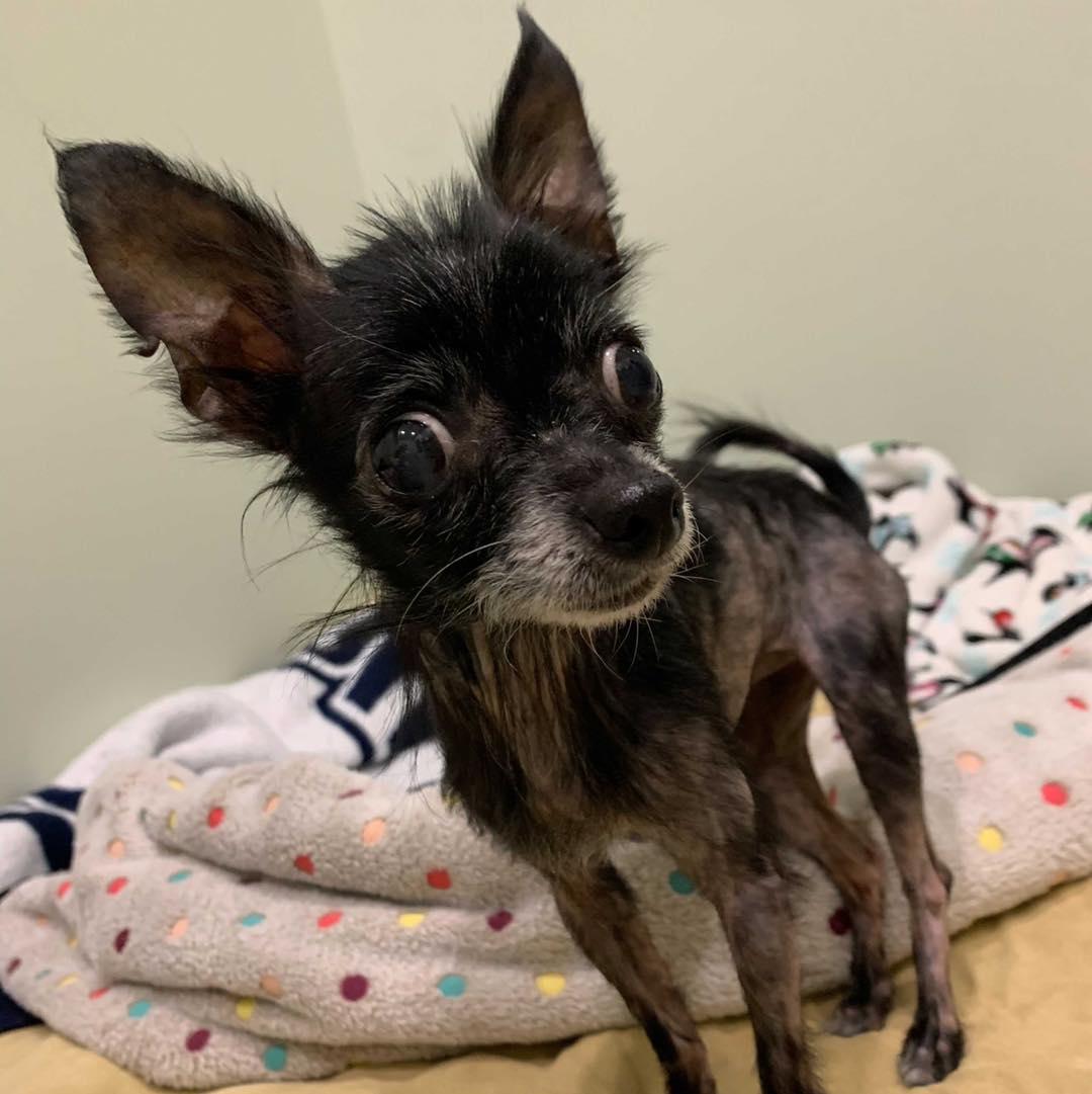 Mistletoe Chihuahua for Rescue