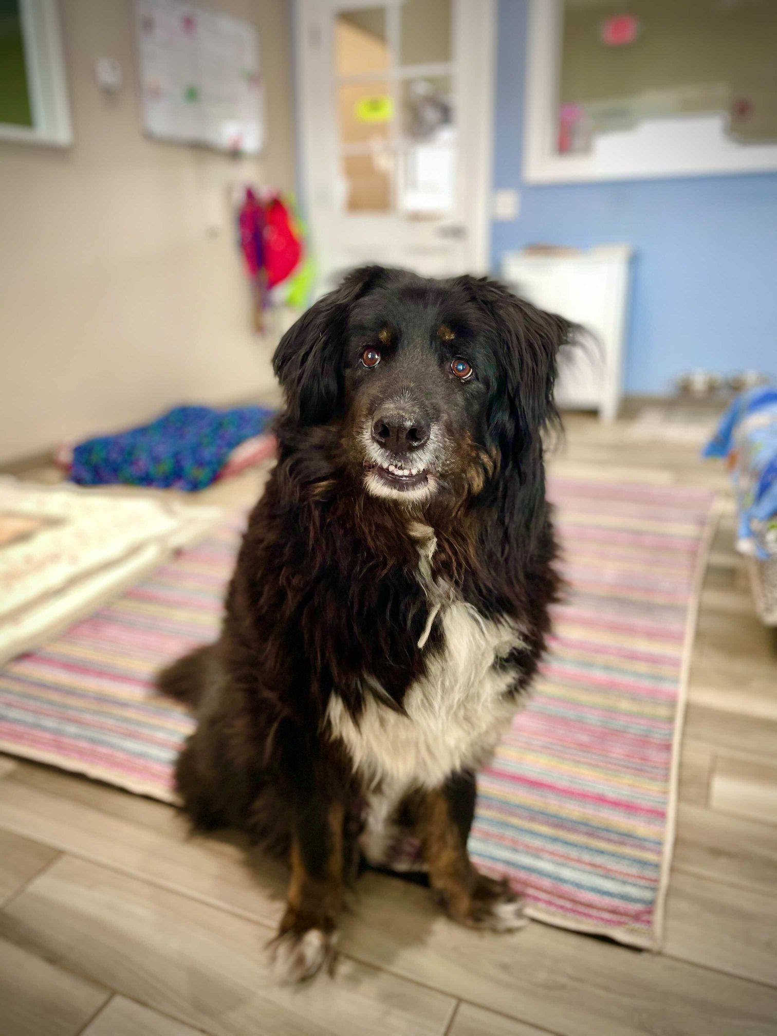 Tippy Bernese Mountain Dog Mix for Adoption